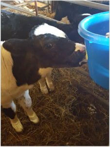 feeder calves how denial prevents growth