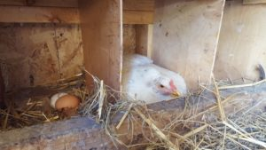 laying chicken how denial prevents growth