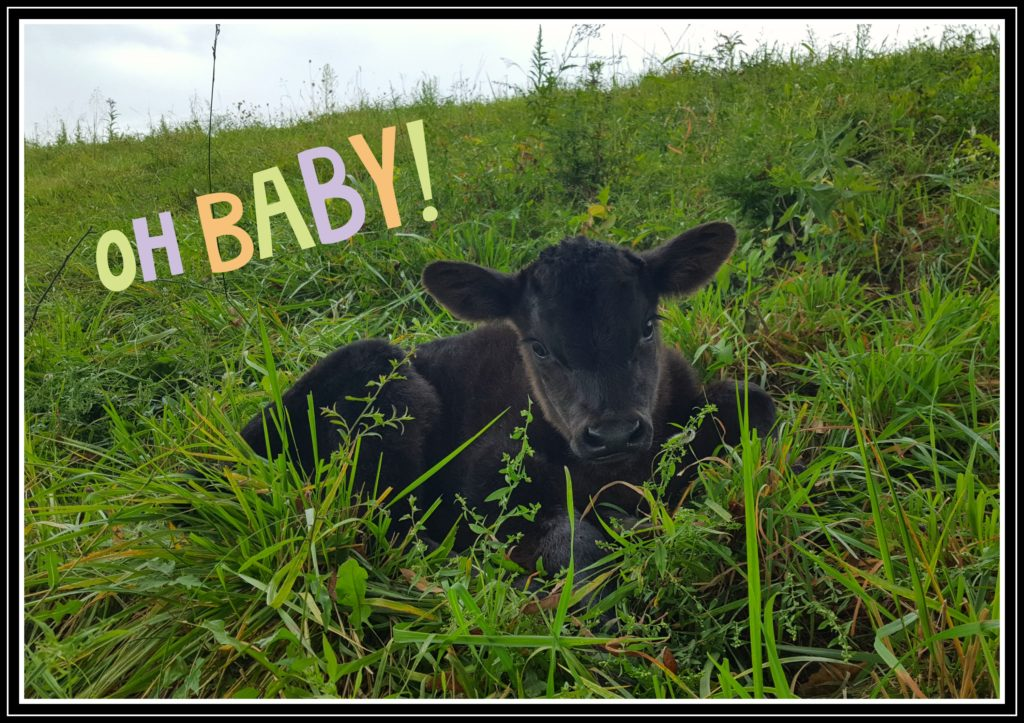 Calving Season at Hickory Hollow calf