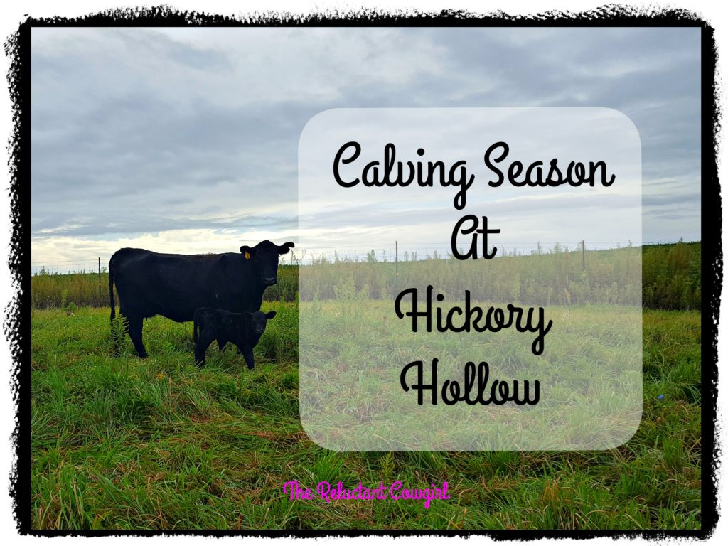 Calving Season at Hickory Hollow cows