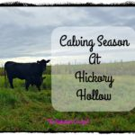 Calving Season at Hickory Hollow