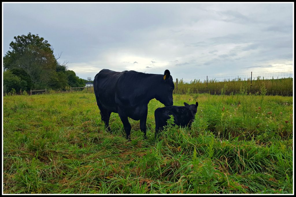 Calving Season at Hickory Hollow cow and calf