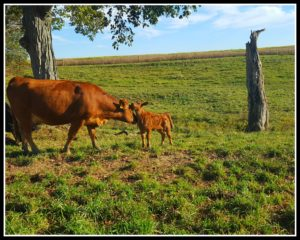 5 Lessons on Realizing Dreams Learned from Blogging for a Year cow and calf