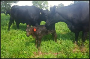 Calving Season 2018 at Hickory Hollow