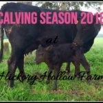 Calving Season 2018 at Hickory Hollow