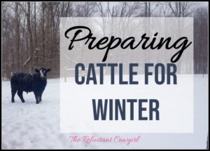 preparing cattle for winter