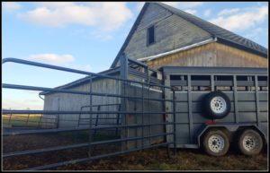 Preparing Cattle for Winter